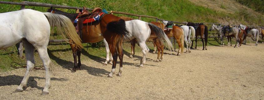 Rieferhof cavalli